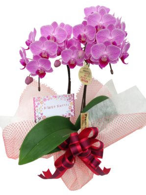 【産直】ミディ胡蝶蘭4号L2Fお誕生日セット【ラッピング・カードフルセット】